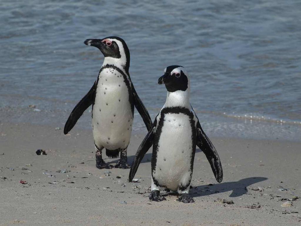 Pinguinpärchen am Strand von Boulders Beach